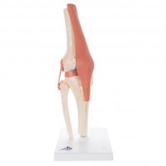 Flexibilní model kolenního kloubu Deluxe