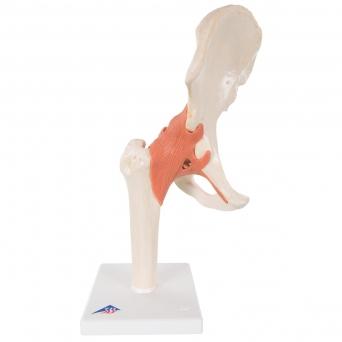 Flexibilní model kyčelního kloubu Deluxe