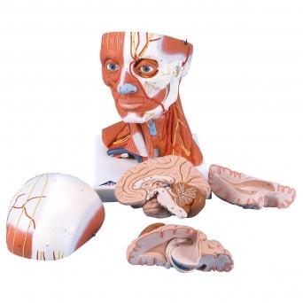 Hlava a krk se svalstvem