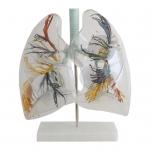 Hrtan, průdušnice a průhledné plíce