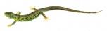 Ještěrka obecná - sameček (Lacerta agilis)