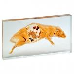 Model krysy v akrylu