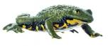 Kuňka žlutobřichá (Bombina variegata)