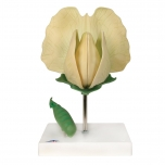 Květ hrachu (Pisum sativum)