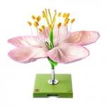 Květ jabloně (Pirus malus)