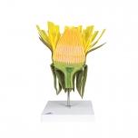 Květ pampelišky (Taraxum officinale)