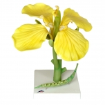 Květ řepky olejnaté (Brassica napus ssp. oleifera)