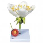 Květ třešně (Prunus avium)