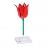 Květ tulipánu, zvětšení 3x (Tulipa gesneriana)