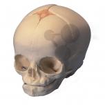 Lebka plodu, vysoce kvalitní provedení