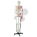 Lidská kostra se svaly
