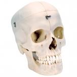 Lidská lebka BONELike