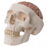 Lidská lebka s mozkem