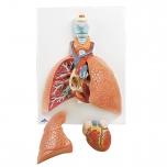 Lidské plíce s hrtanem