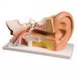 Lidské ucho