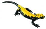 Mlok černý se žlutými skvrnami - sameček (Salamandra atra aurorae)