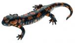 Mlok skvrnitý, červená varianta - sameček (Salamandra salamandra)