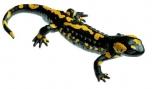 Mlok skvrnitý - sameček (Salamandra salamandra)