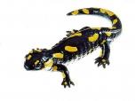 Mlok skvrnitý - samička (Salamandra salamandra)