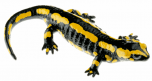Mlok skvrnitý západní - samička (Salamandra terrestris)