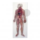 Model krevního oběhu