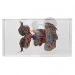 Model žáby, v řezu, preparát zalitý v pryskyřici