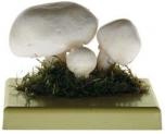 Pečárka (žampion) polní (Agaricus campestris)