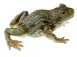 Ropuška starostlivá - samička (Alytes obstetricans)