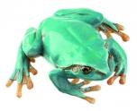Rosnička zelená, modrá varianta - samička (Hyla arborea)