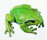 Rosnička zelená - samička (Hyla arborea)