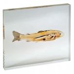 Model ryby v akrylu