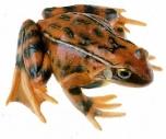 Skokan hnědý - samička (Rana temporaria)