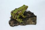 Skokan zelený (Rana kl. esculenta)