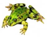 Skokan zelený - sameček (Rana kl. esculenta)