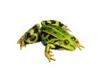 Skokan zelený - samička (Rana kl. esculenta)