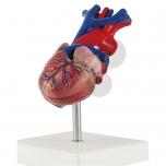 Srdce, 2 části