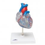 Model srdce, transparentní