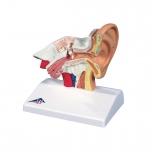 Stolní model lidského ucha