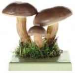 Suchohřib (Hřib) hnědý (Xeroxomus badius)