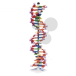 Velký model DNA