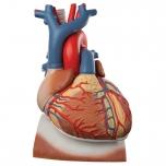 Velký model srdce Authentic®