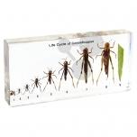 Životní cyklus kobylky luční, preparát zalitý v pryskyřici