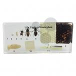 Životní cyklus včely, preparát zalitý v pryskyřici