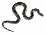 Zmije obecná - mladý sameček (Vipera berus)
